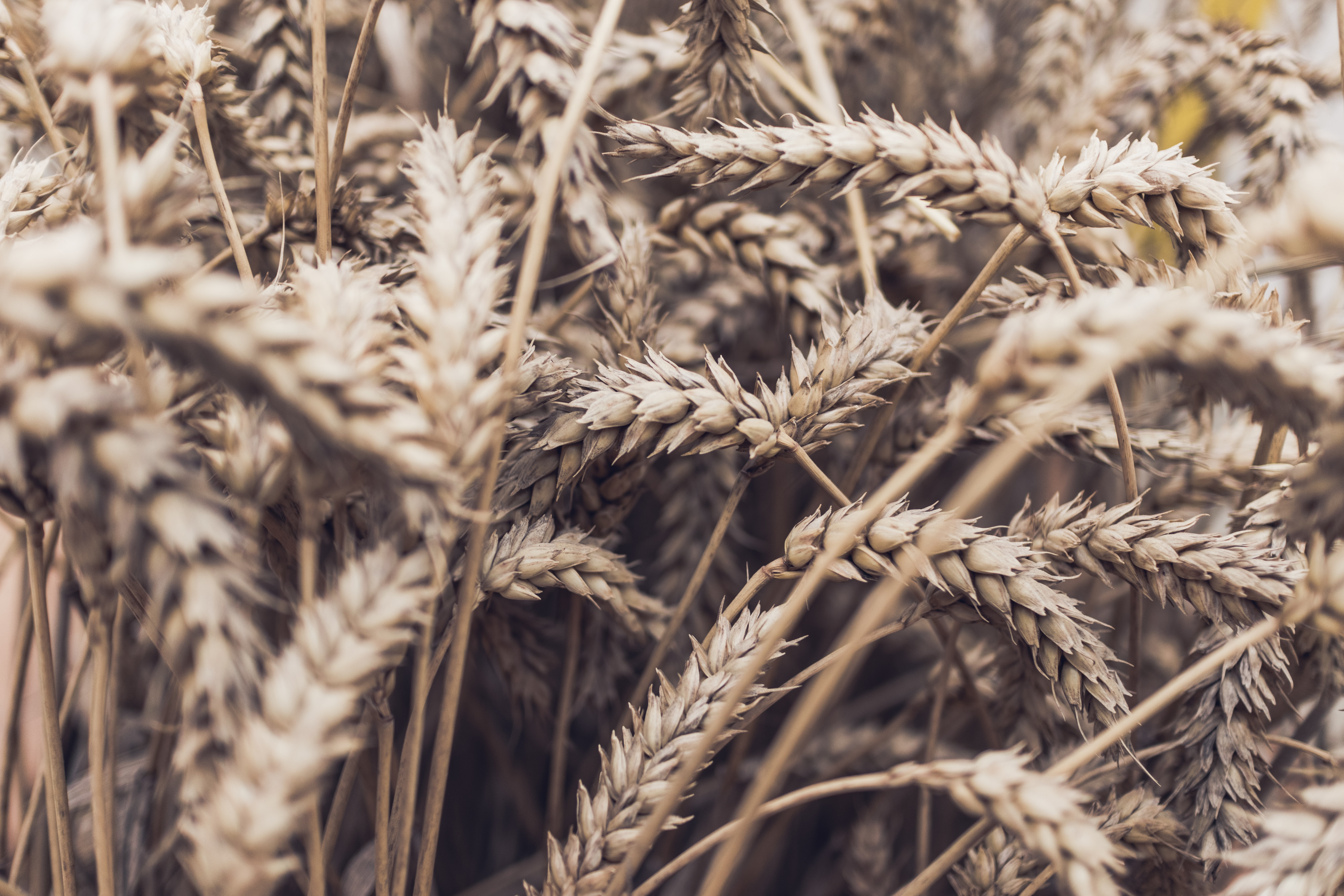Plant oats for your fall garden chores