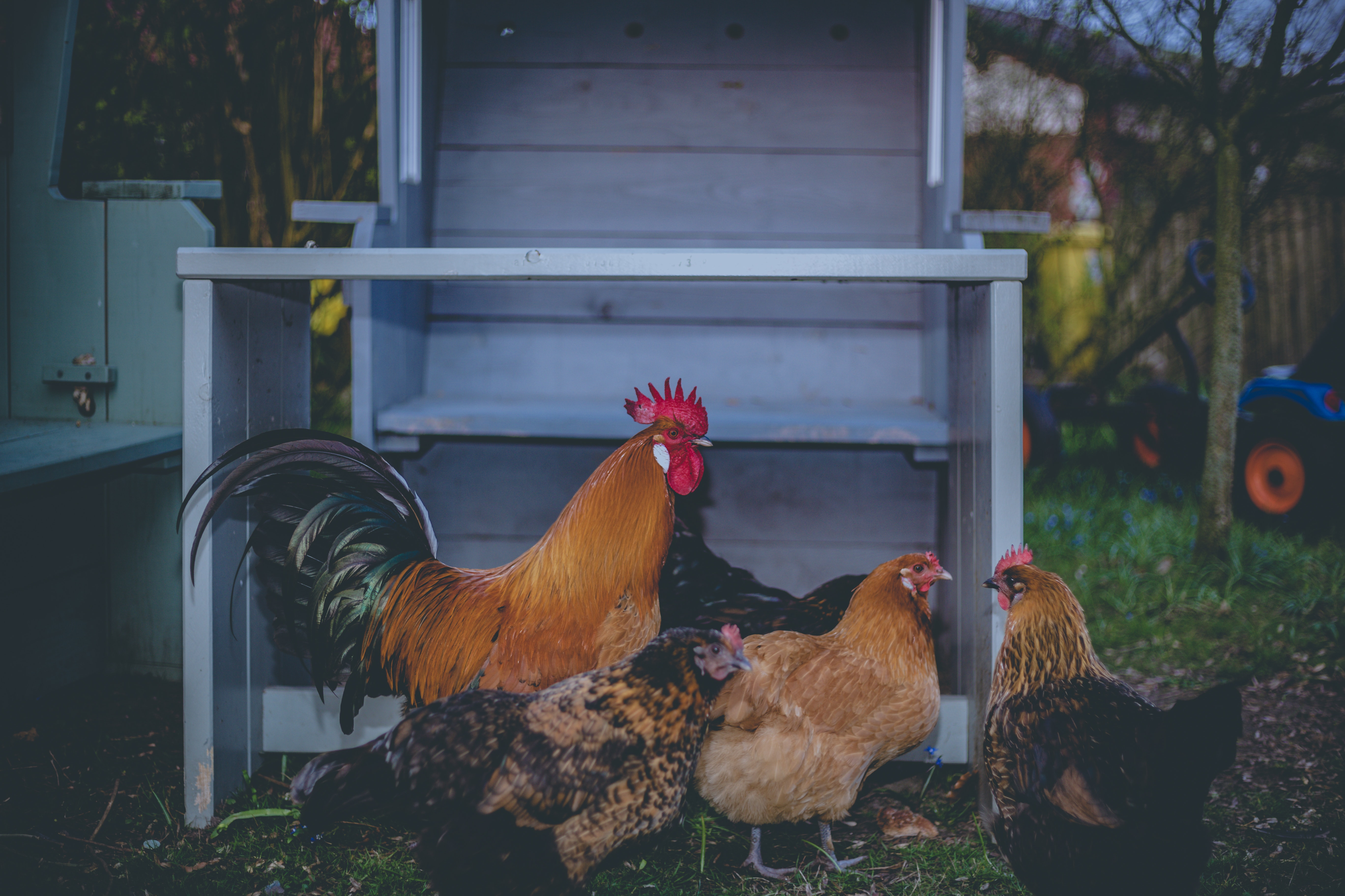 Your chickens can be healthy and happy without chicken lice if you treat them correctly.