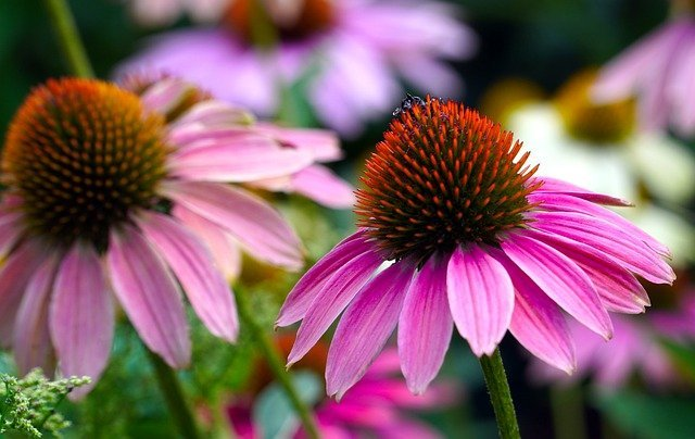 Echinacea is a great immune boosting herb