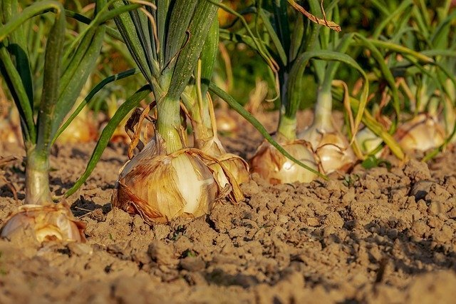 Onions are great for boosting immunity