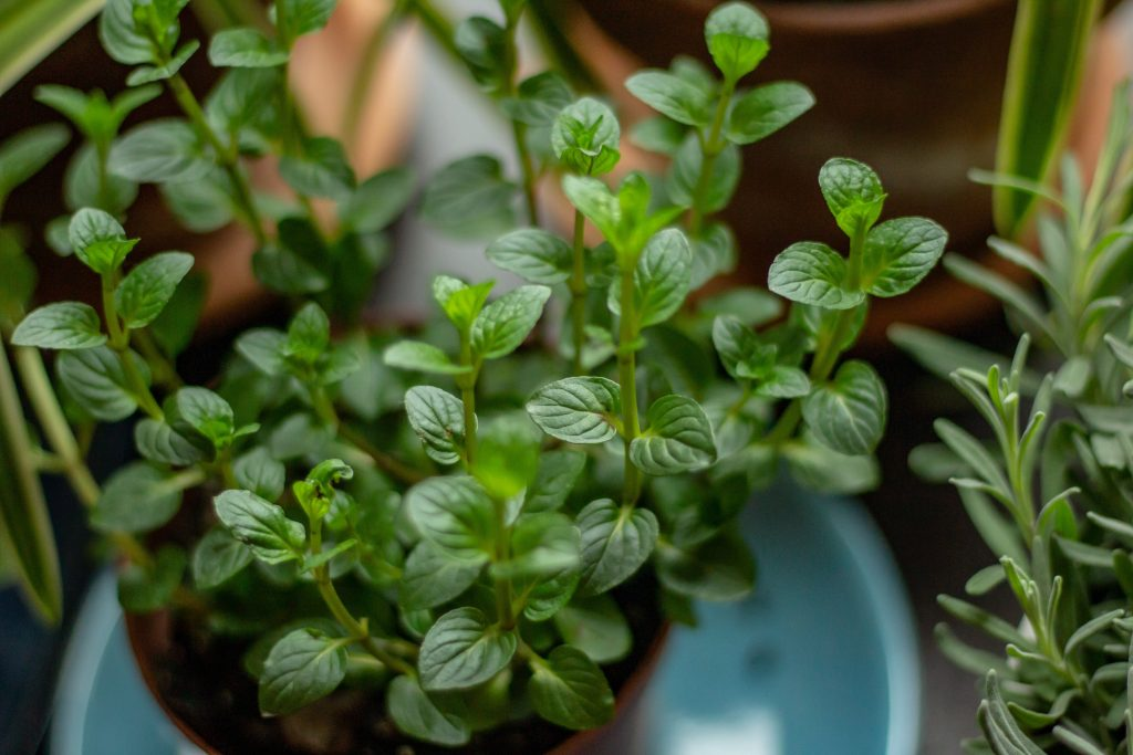 Grow your own herbs for spices and medicine