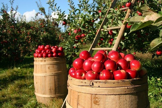Fresh red apples right off the tree