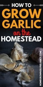 Growing garlic on the homestead can be a wise choice - find out why and how here!