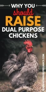 """Cochin chicken, with text """"why you should raise dual purpose chickens"""""""
