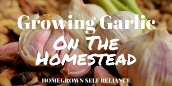 Growing Garlic On The Homestead