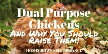 Dual purpose chickens and why you should raise them