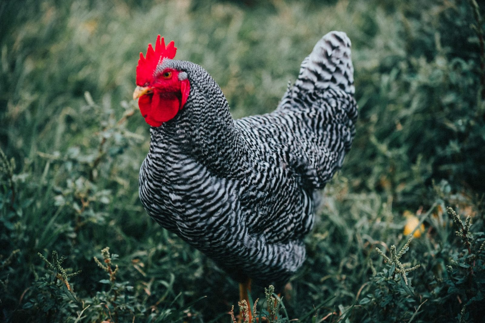 Barred rock chickens are my favorite dual purpose chicken