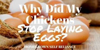 Why did my chickens stop laying eggs?