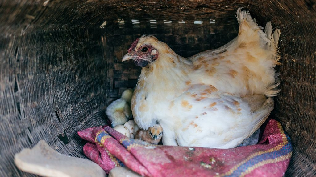 Hen with baby chick in blanket