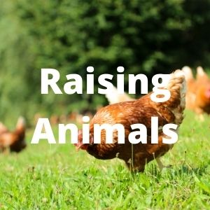 Raising animals on your homestead greatly increases your self reliance