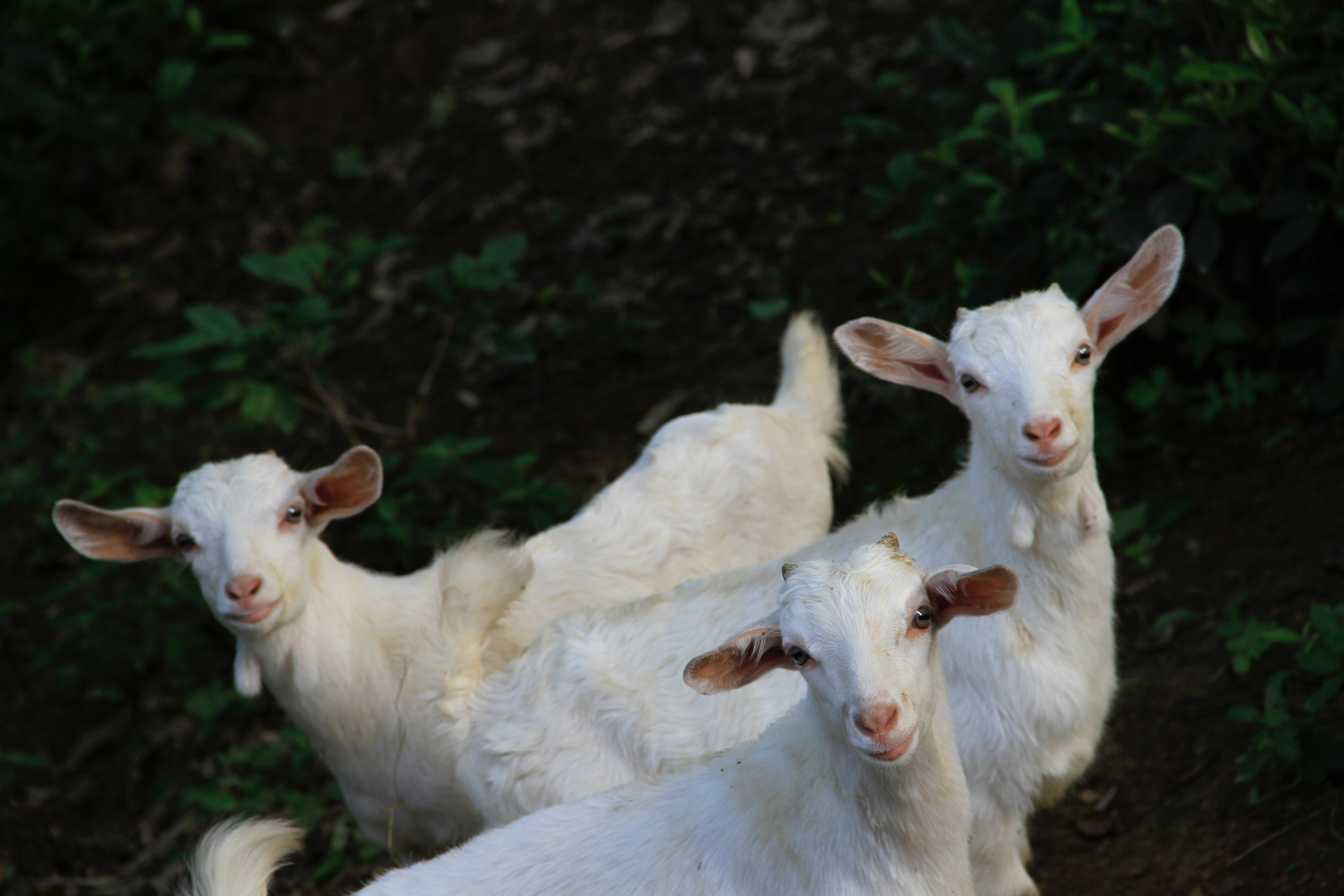 Goats are my favorite of the best farm animals to raise